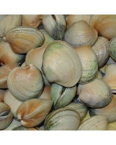 Clams Live Little Neck 10kg/Fresh