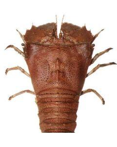 Lobster Slipper U10 1kg/Frozen