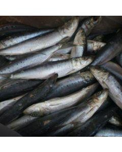 Sardines NZ IQF Bait Grade 2kg/Frozen