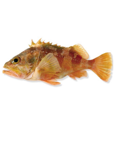 Sea Perch Gutted 1kg/Fresh